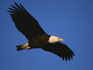 eagle-in-flight