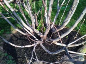 life fig tree